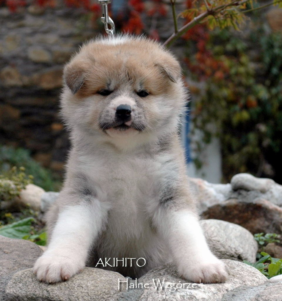 Akita Puppies Breeders Akitas For Sale Pictures
