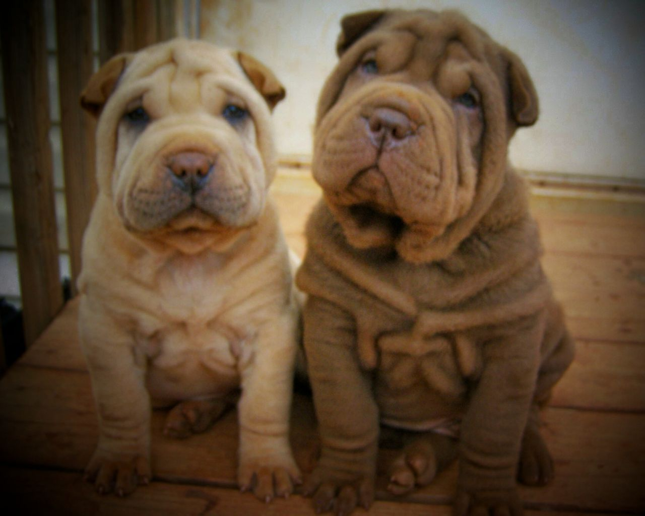 Website Owner Lookup >> Southern Charm Shar-pei | Chinese Shar Pei Breeder ...