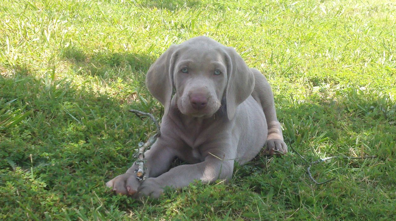 silver weimaraner puppies dog breeds picture
