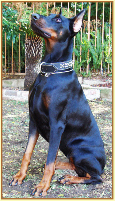 Website Owner Lookup >> KING OF DOBERMANS | Doberman Pinscher Breeder | TUJUNGA, California