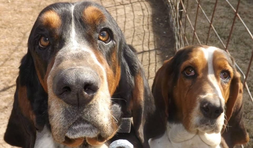 Mini basset hound breeder for pinterest