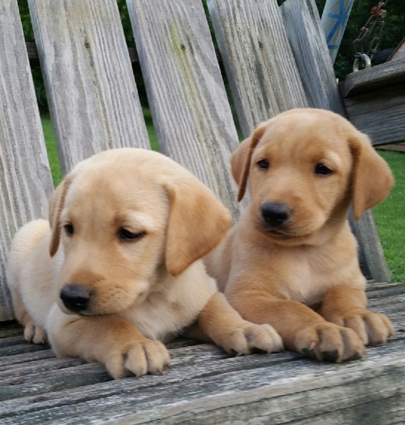 Johnson S Labrador Retrievers Labrador Retriever Breeder
