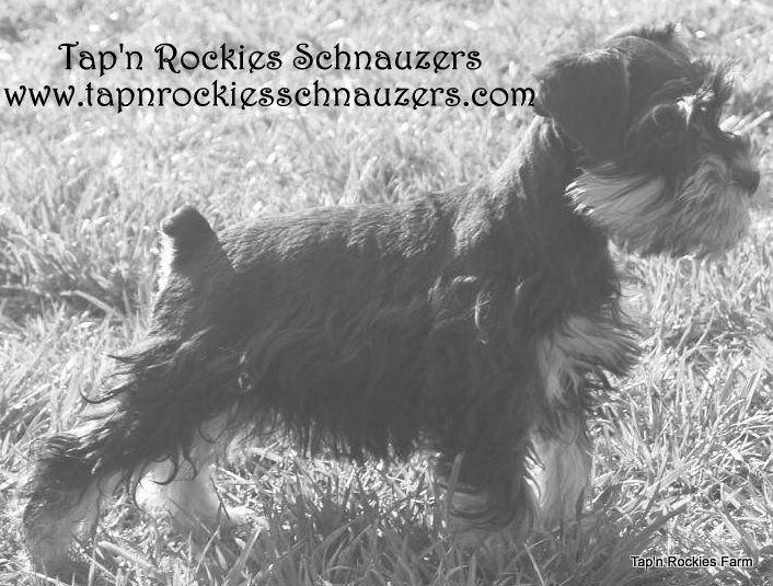 Ruther Glen (VA) United States  City pictures : ... Rockies Farm | Miniature Schnauzer Breeder | Ruther Glen, Virginia