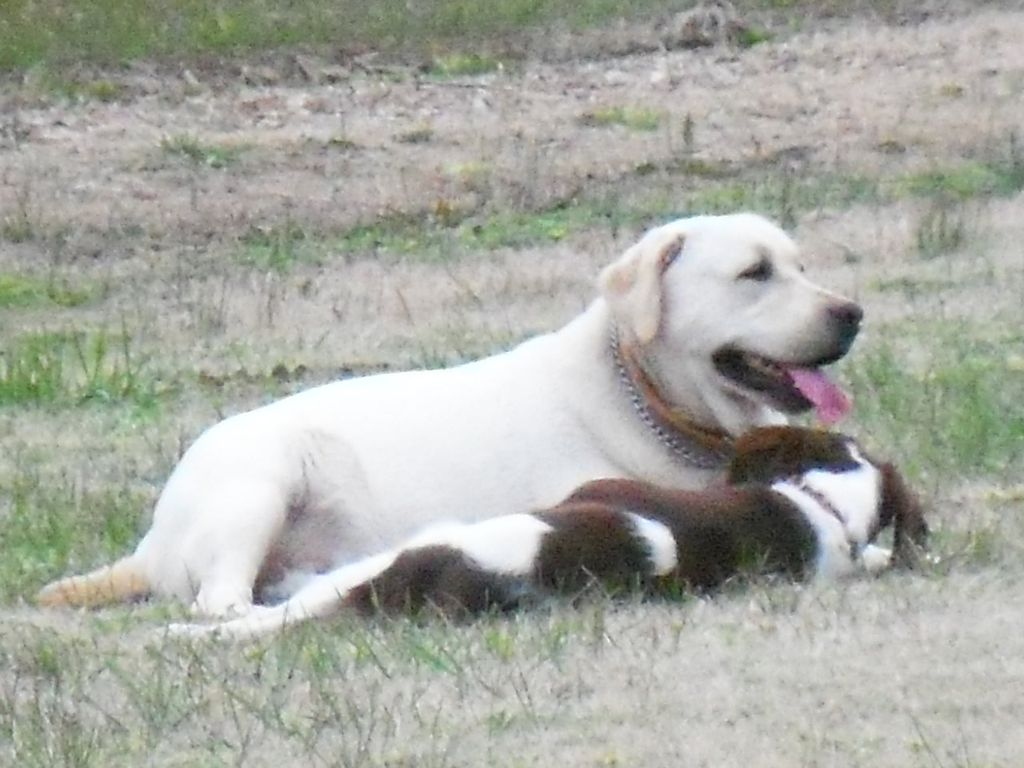 Nassawadox (VA) United States  City new picture : ... Labs and Brits | Labrador Retriever Breeder | Nassawadox, Virginia