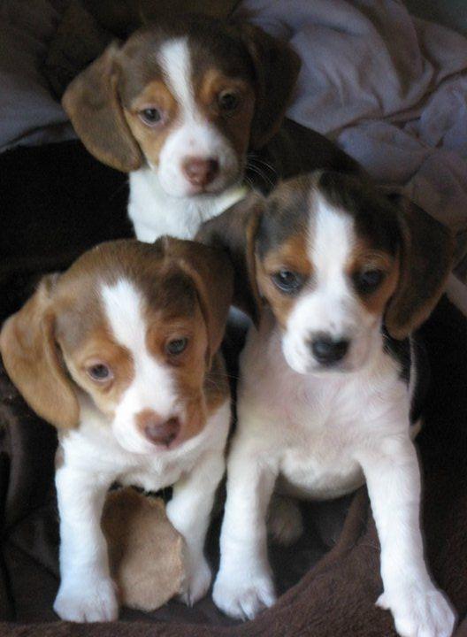 Mini Beagle Olde English Pocket Beagle Miniature Beagle Toy Pictures ...