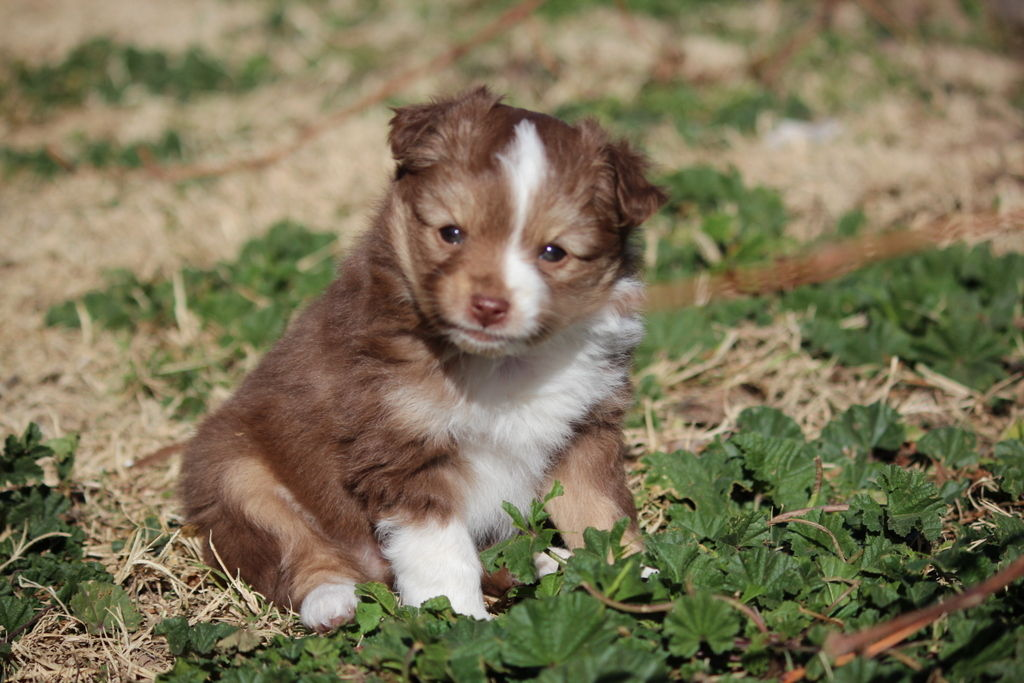 Thatcher (AZ) United States  city images : ... Horsemen | Miniature Australian Shepherd Breeder | Thatcher, Arizona