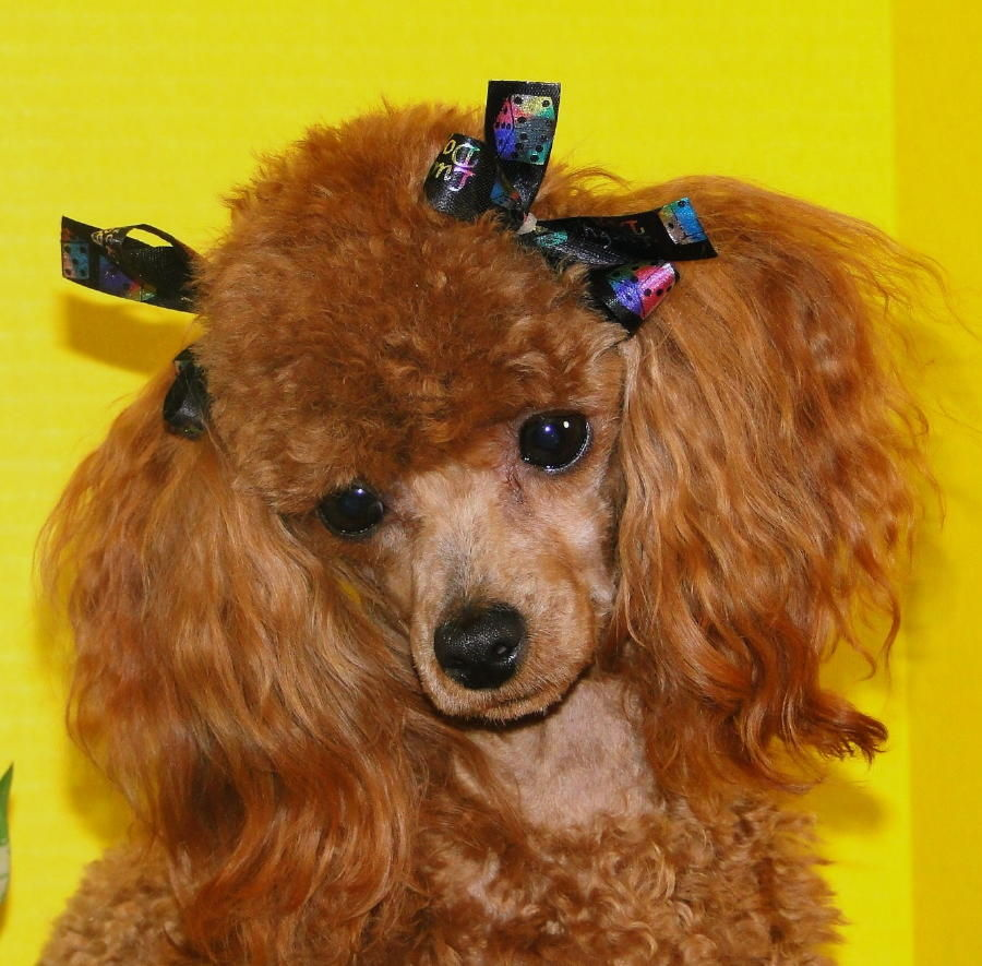 Image Result For Toy Poodles For Sale California