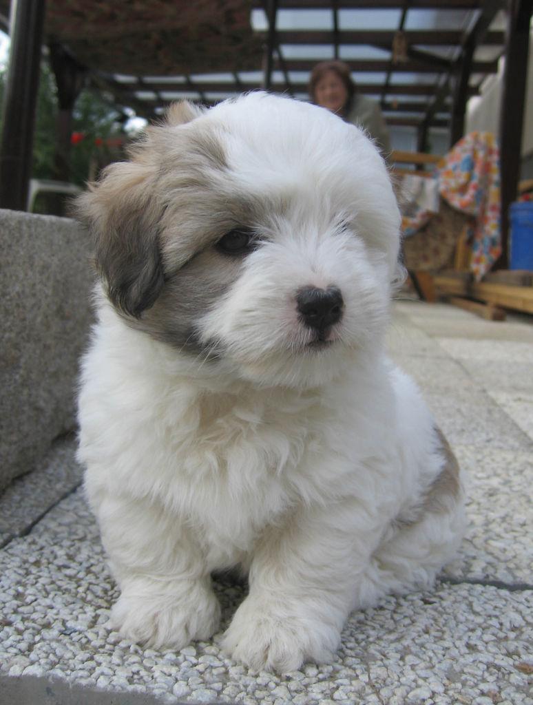 Dog Breed Coton De Tulear