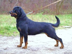golden valley champion rottweilers