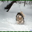 Enchanted Dreams Alaskan Malamutes
