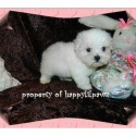 AKC Female - a Maltese puppy