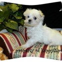 Maltese for sale