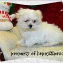 AKC Male - a Maltese puppy