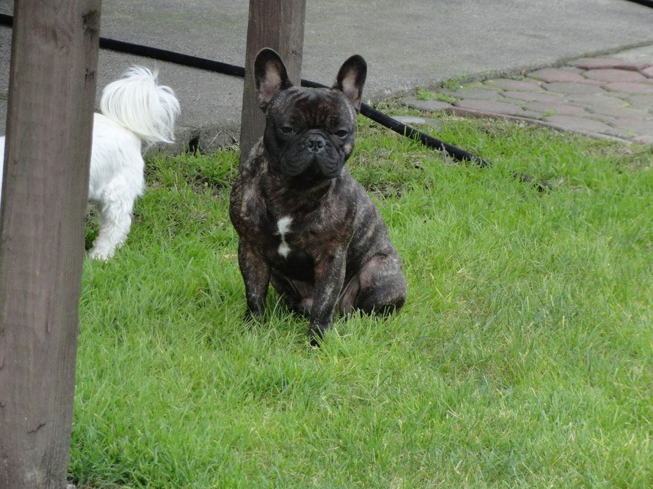 Website Owner Lookup >> li frenchies | French Bulldog Breeder | Farmingville, New York