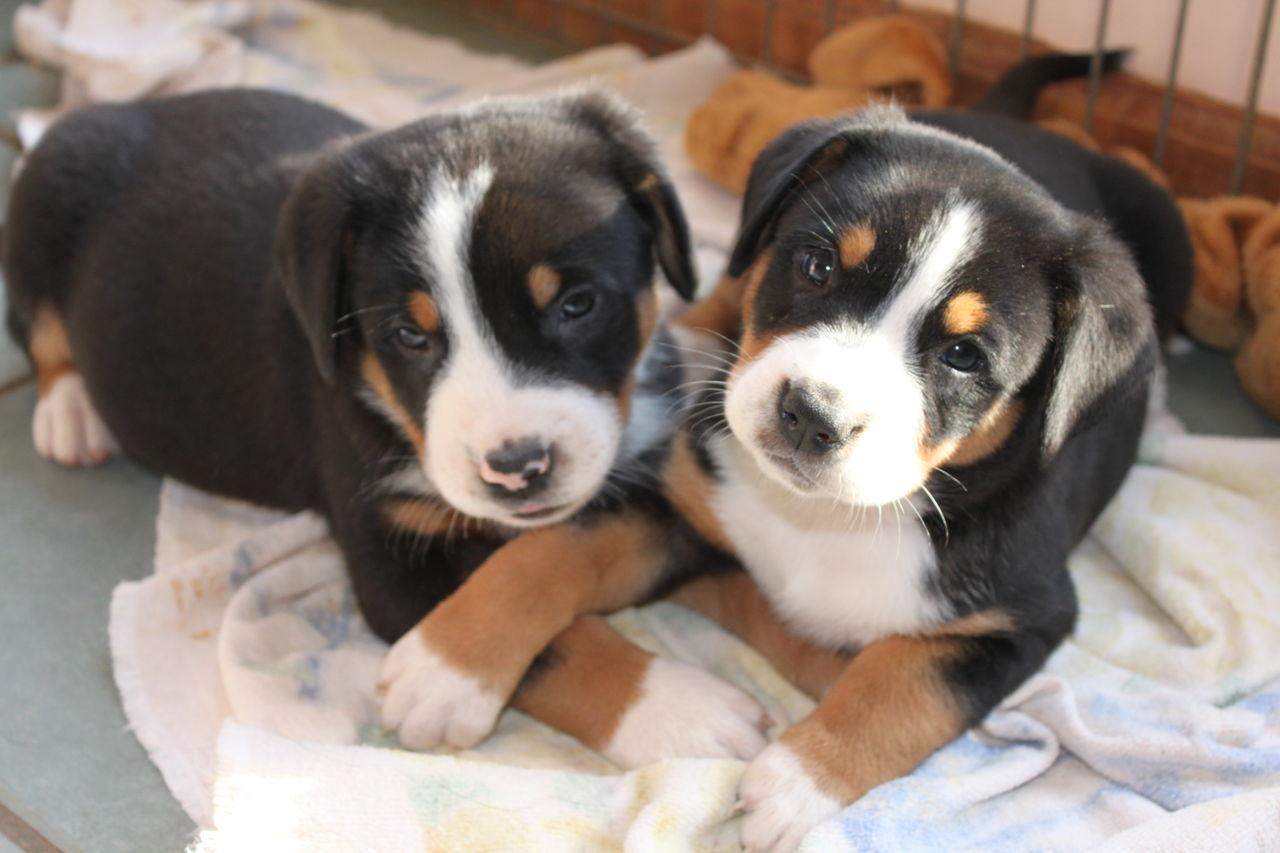 Dufenhof Swissies | Greater Swiss Mountain Dog Breeder ...