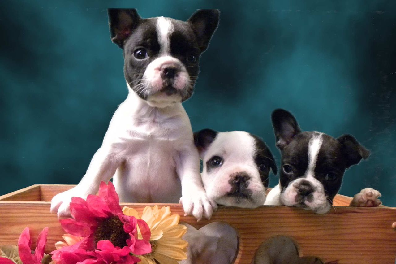 Puppy Love Kennels Boston Terrier Breeder Limestone Tennessee