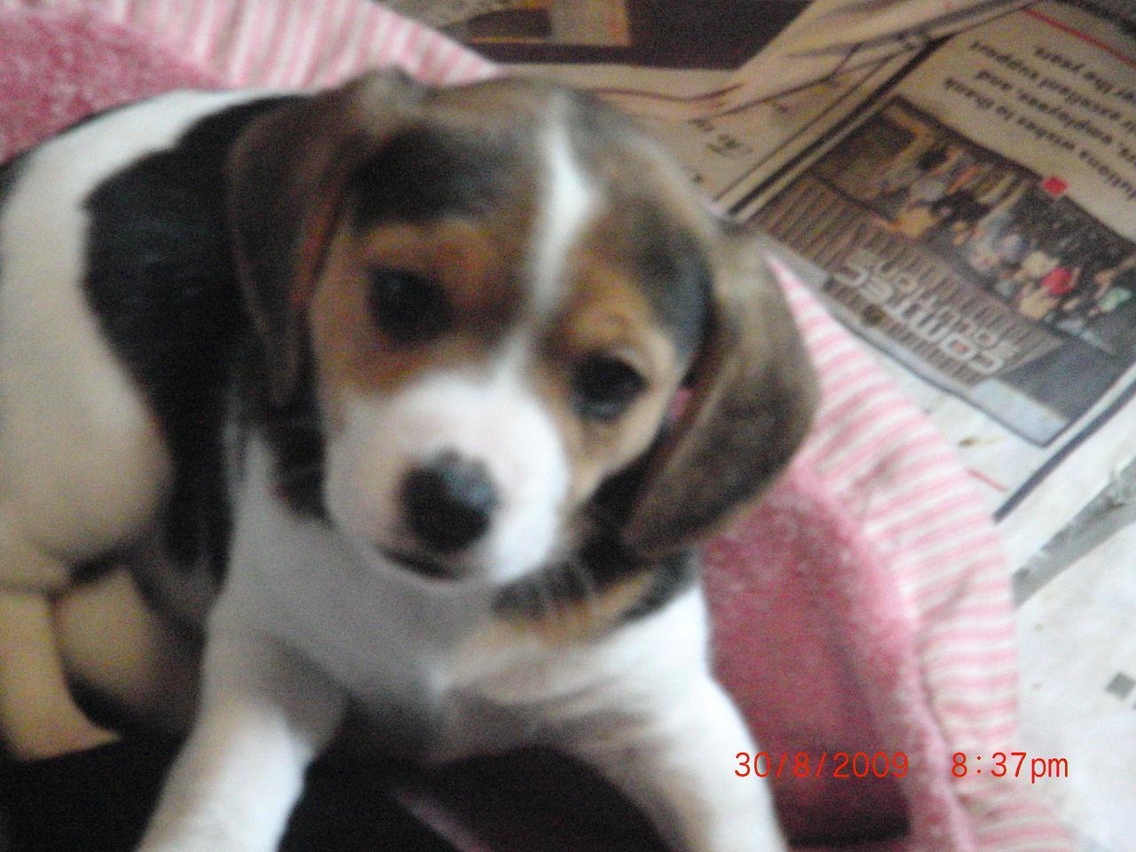 Scarletts Old English Pocket Beagles Beagle Breeder Walworth