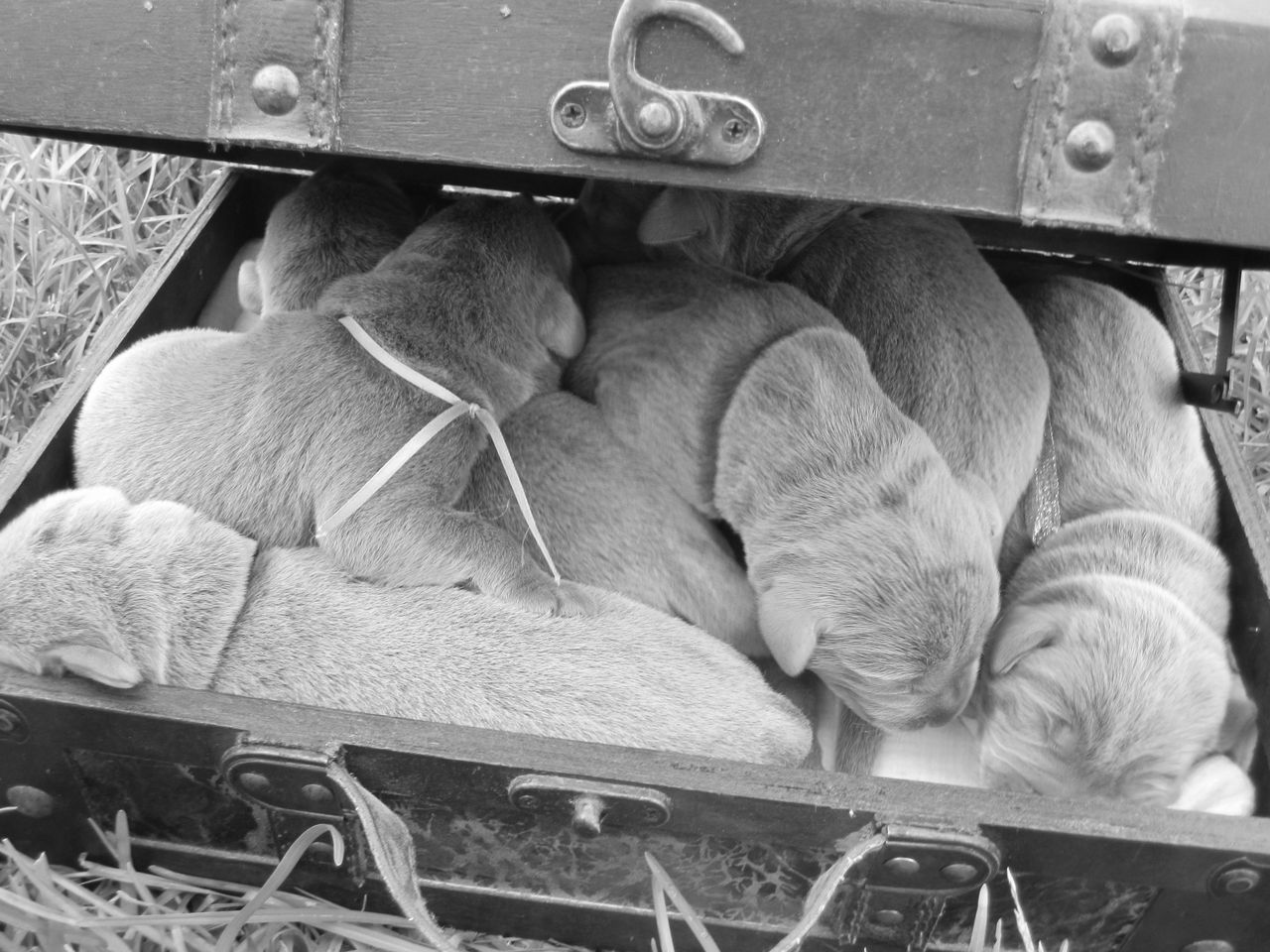 Sullivant Silver Labs | Labrador Retriever Breeder | Mobile