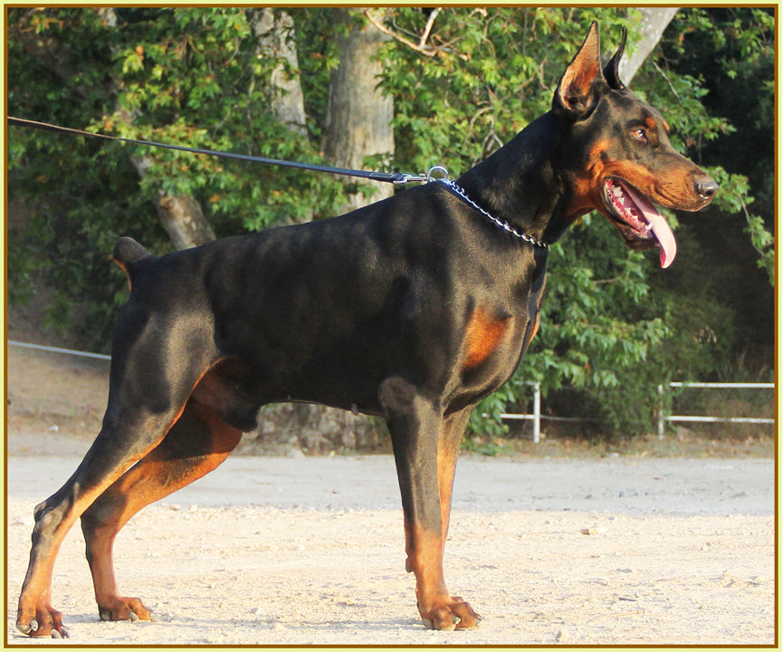 King Of Dobermans Doberman Pinscher Breeder Tujunga