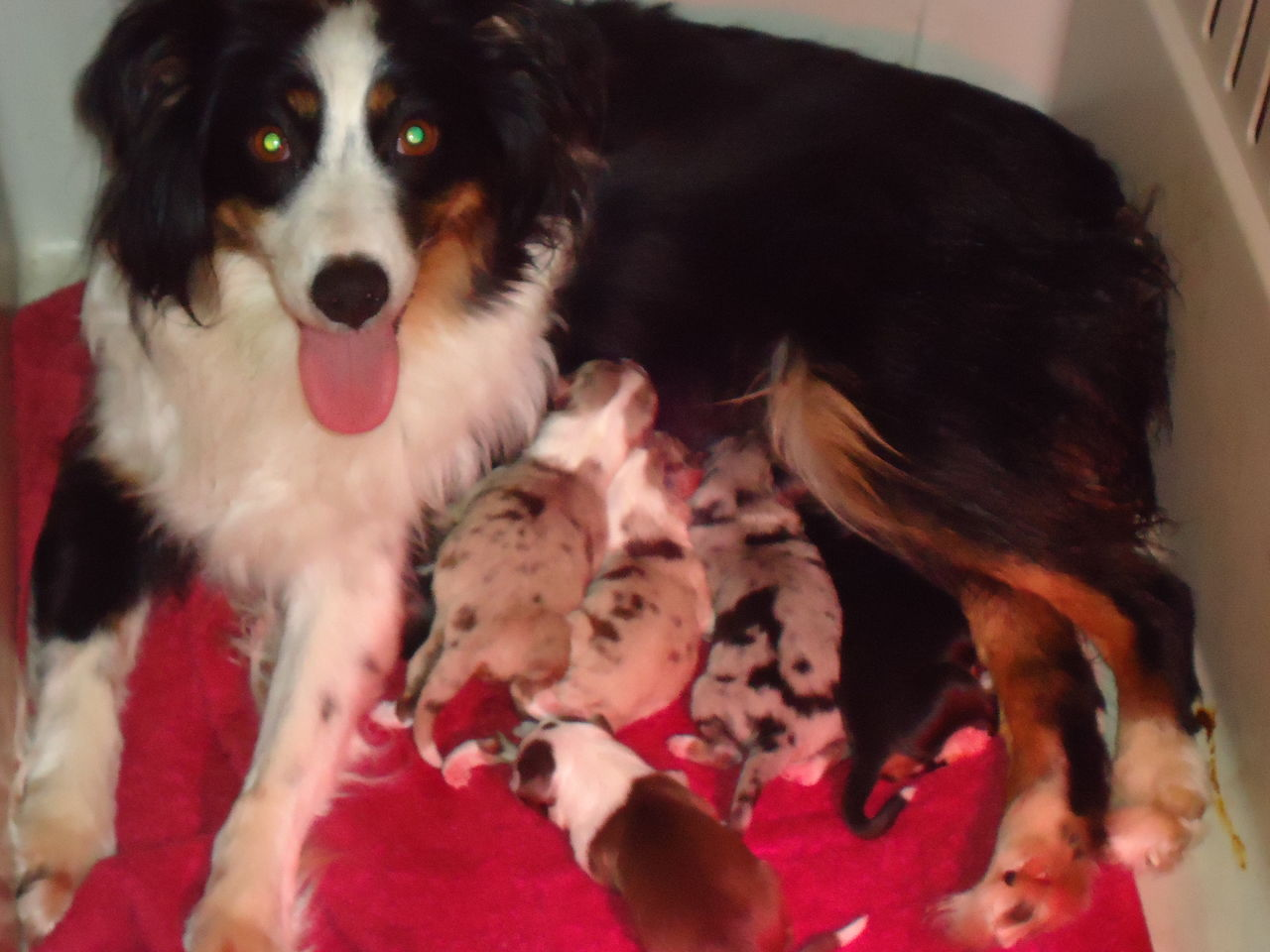 All's Fair | Miniature Australian Shepherd Breeder | Windham