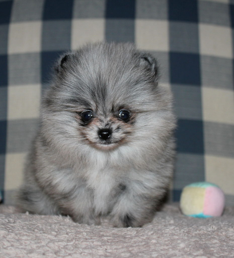 blue pomeranian for sale parker s precious poms pomeranian breeder roy washington 655