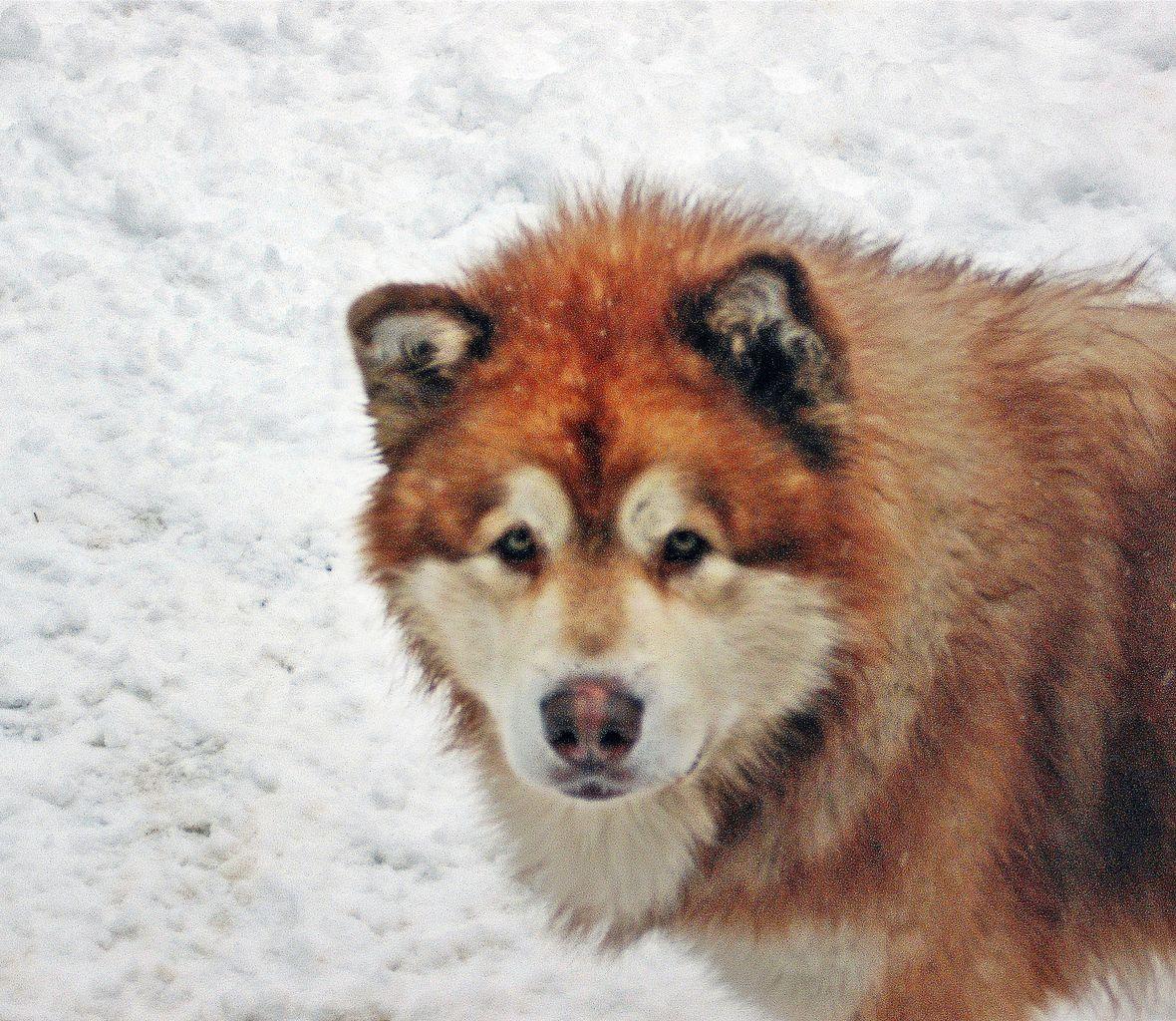 Website Owner Lookup >> Enchanted Dreams Alaskan Malamutes | Alaskan Malamute Breeder | Smyrna, New York