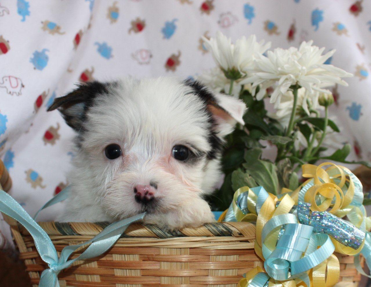 Website Owner Lookup >> My Baby Yorkie Paws | Yorkshire Terrier Breeder ...