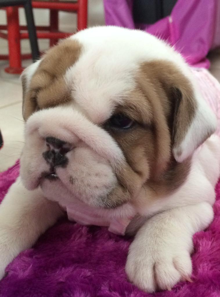 East Texas English Bulldogs | Bulldog Breeder | Winnsboro ...