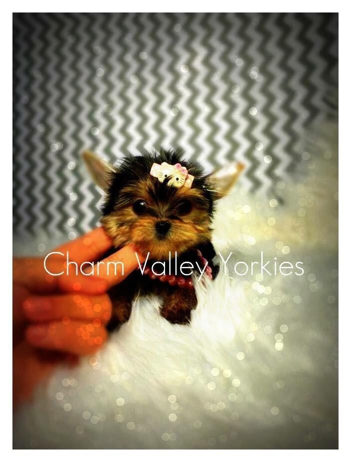 Charm Valley Yorkies Yorkshire Terrier Breeder Cleveland Ohio