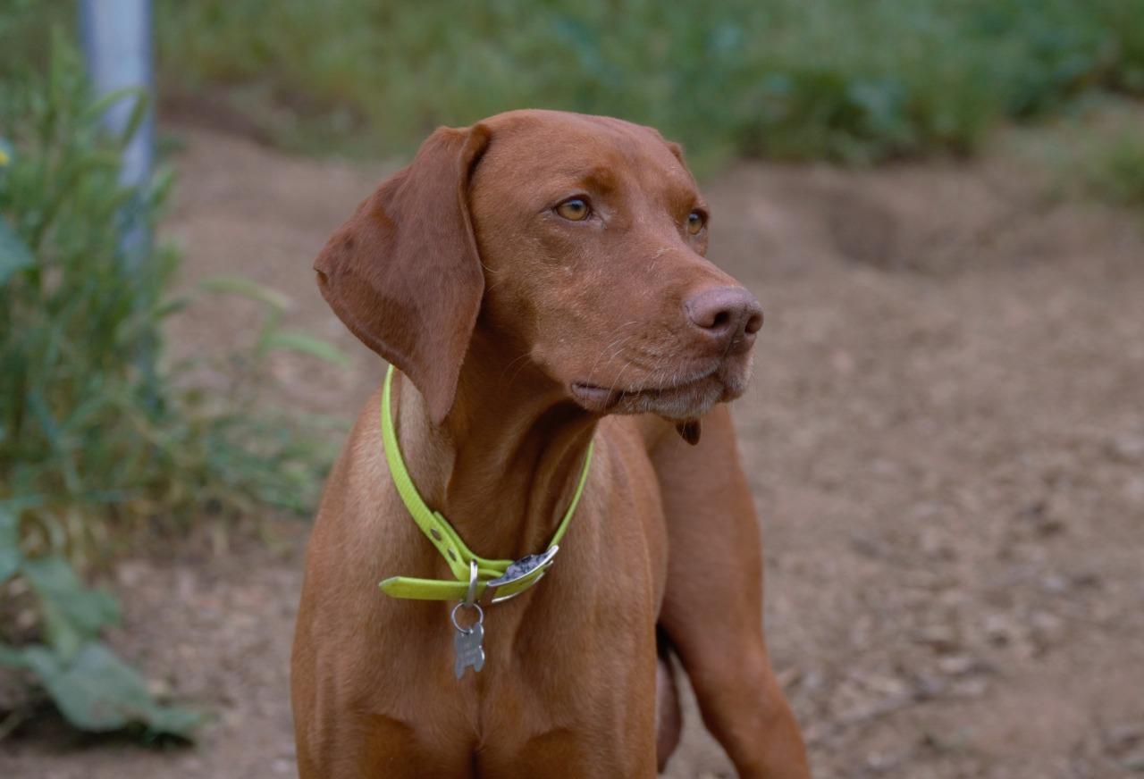Website Owner Lookup >> Red Dog Ranch | Vizsla Breeder | Ramona, California