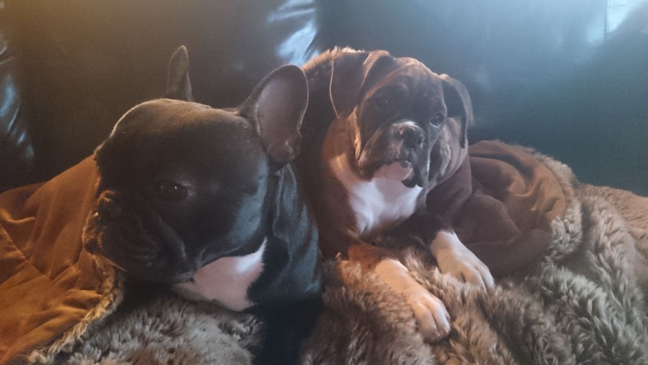 Website Owner Lookup >> Zwilling Boxers and French Bulldogs | French Bulldog Breeder | carvel, Canada