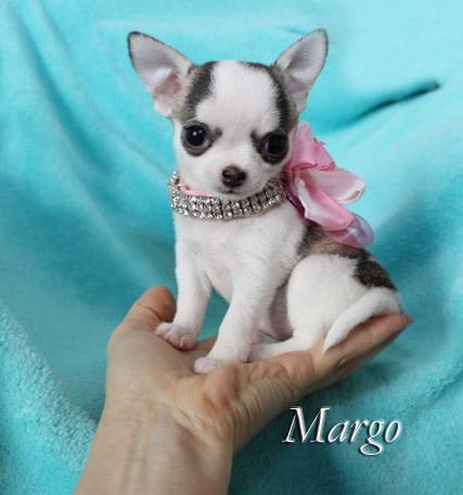Las Vegas Tiny Chihuahua Chihuahua Breeder Las Vegas Nevada