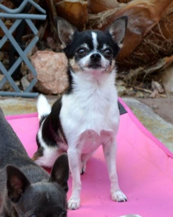 Website Owner Lookup >> las vegas tiny chihuahua | Chihuahua Breeder | Las Vegas, Nevada
