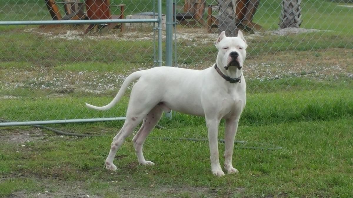 Dogo Argentino Miami Dogo Argentino Breeder North Miami Florida