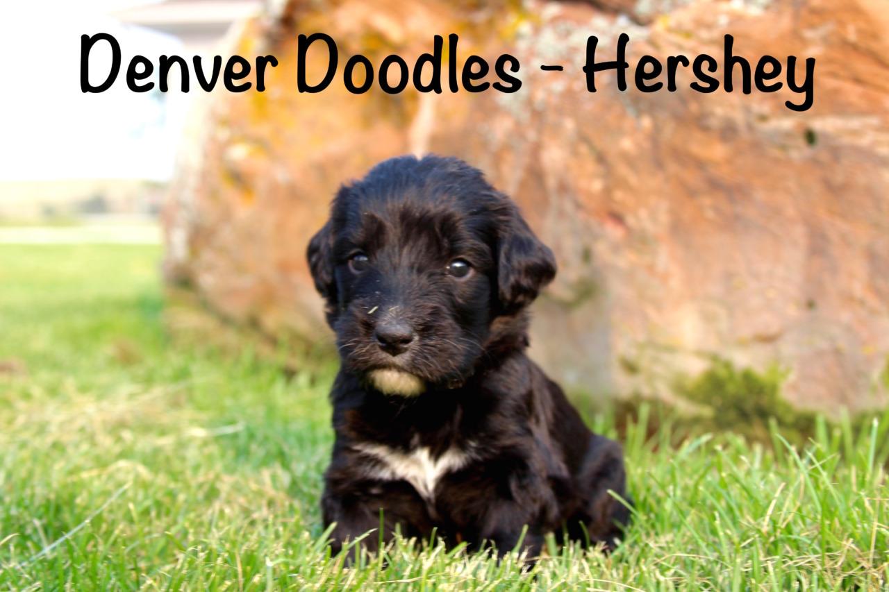 Denver Doodles Goldendoodle Breeder Denver Colorado