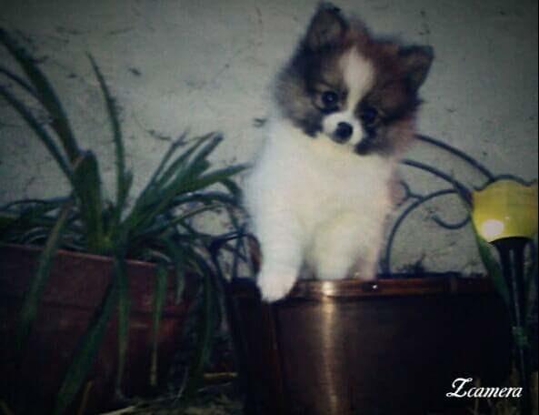 Website Owner Lookup >> Kc pom puppies | Pomeranian Breeder | KANSAS CITY, Missouri