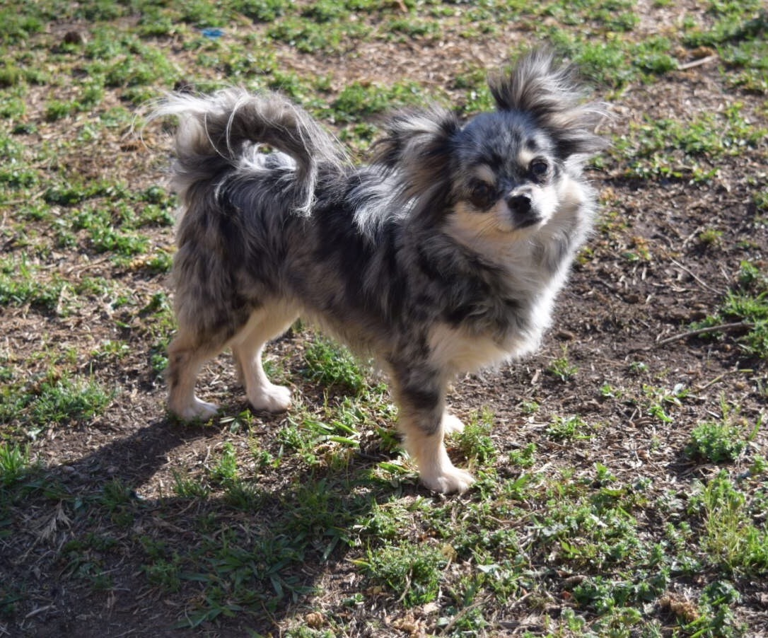Website Owner Lookup >> Two Y Ranch | Chihuahua Breeder | Starr, South Carolina