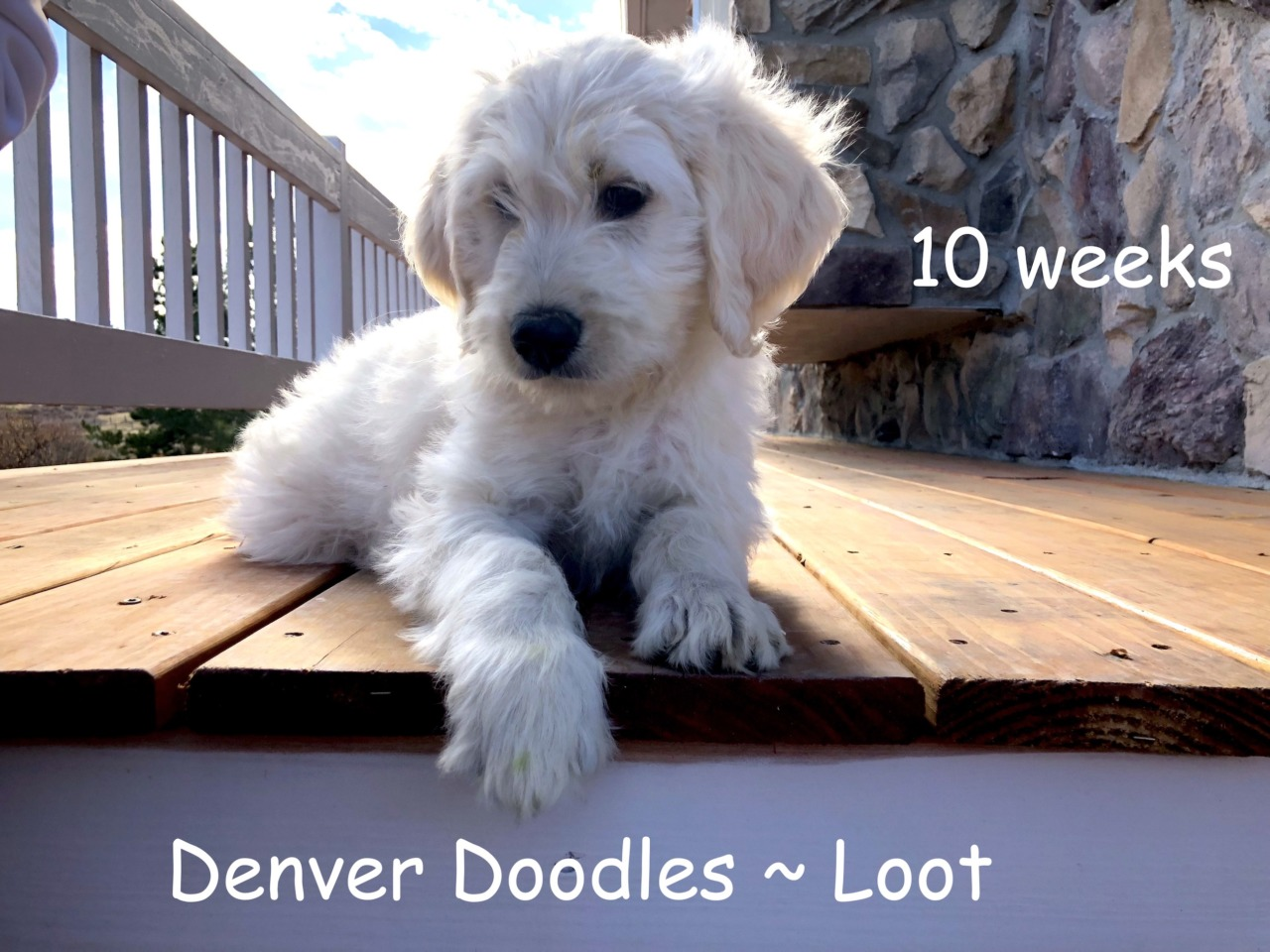 Denver Doodles Goldendoodle Breeder Denver Colorado