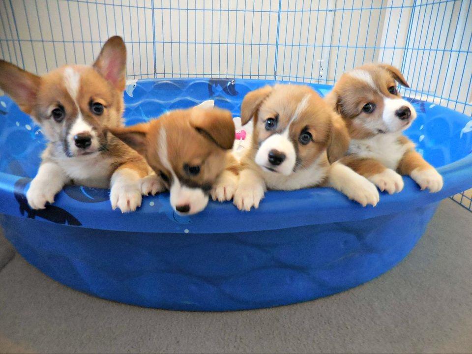 corgi puppies colorado