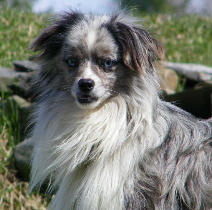 Website Owner Lookup >> J & L mini & Toy Aussies | Miniature Australian Shepherd Breeder | Smyrna, New York