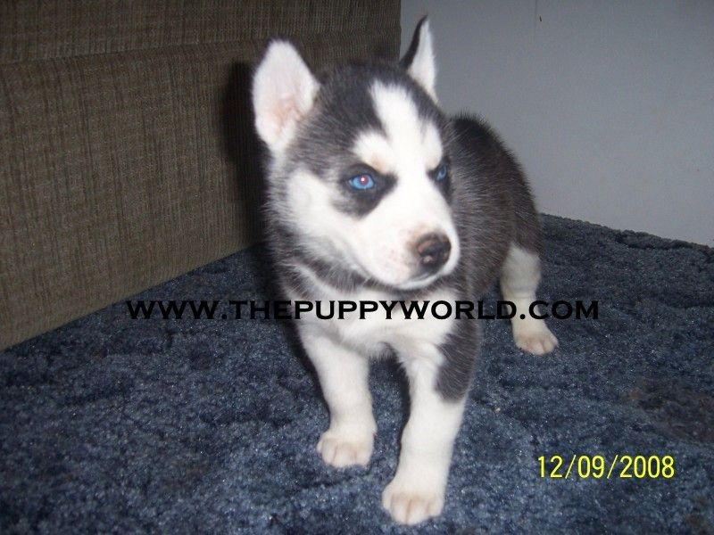 The Puppy World Sakhalin Husky Breeder Charlotte North Carolina