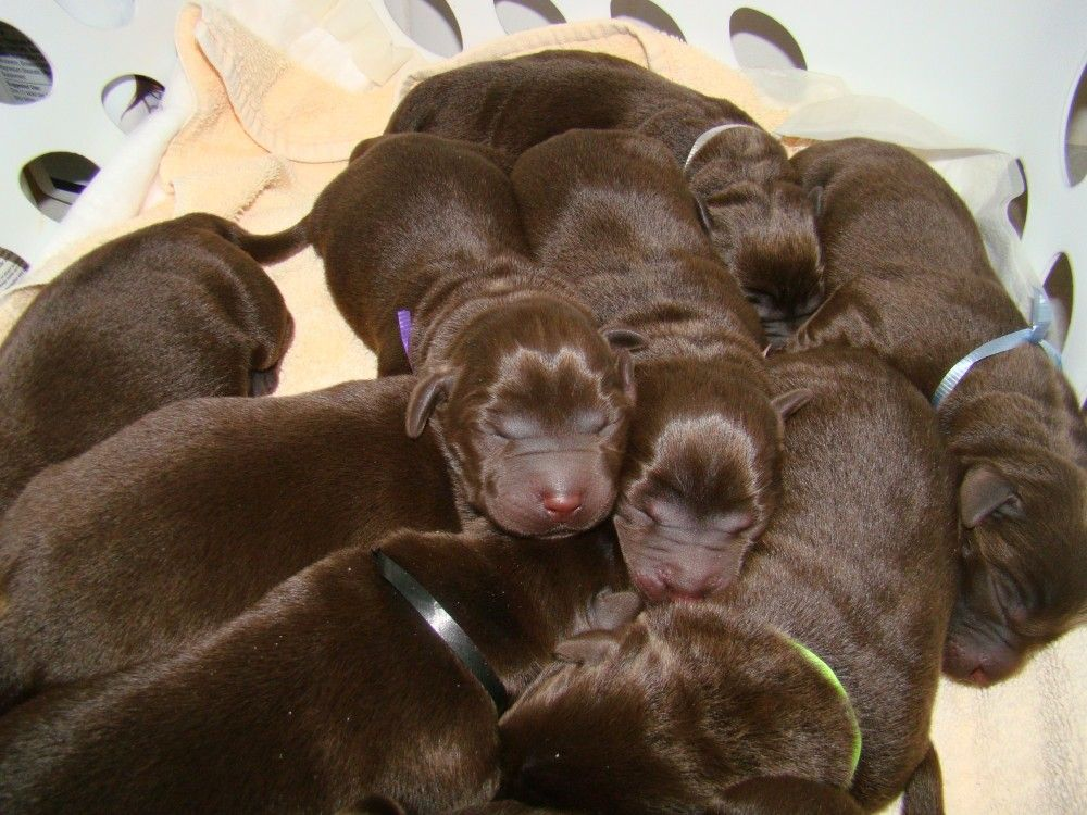 Labrador retriever puppies jacksonville fl