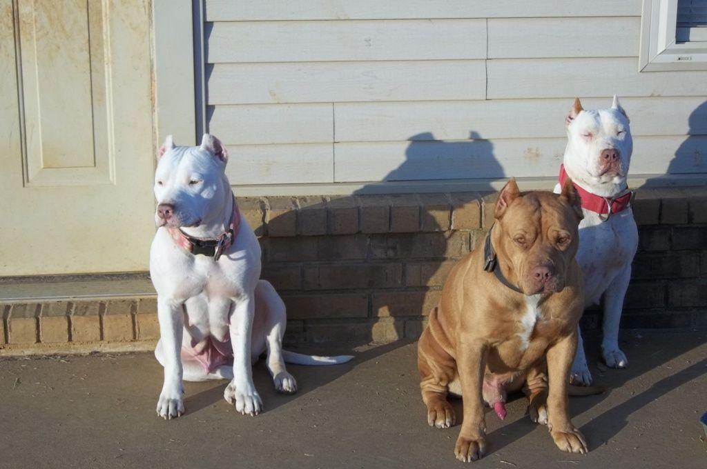 trevinos pitbulls | American Pit Bull Terrier Breeder
