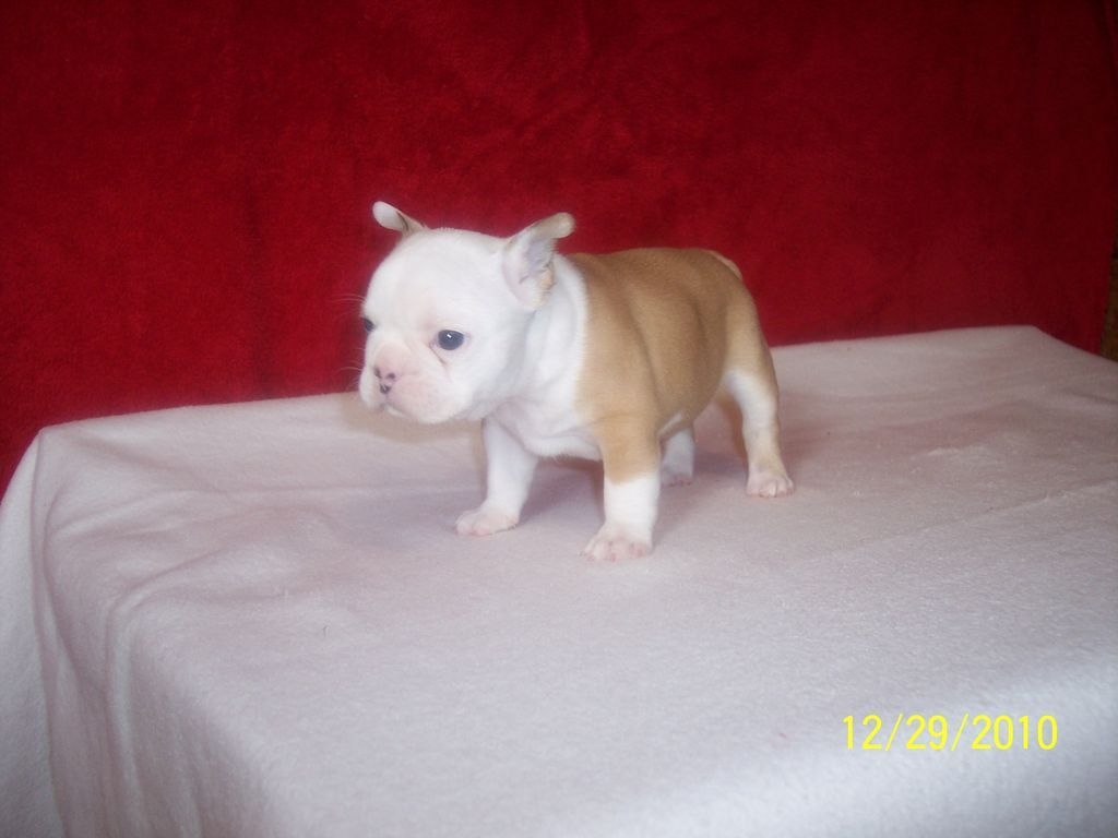 Bentonville Pets | French Bulldog Breeder | Four Oaks, North