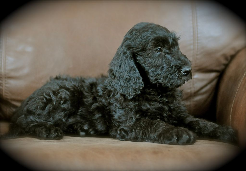 Website Owner Lookup >> Double Doodles | Labradoodle Breeder | Canmore, Canada