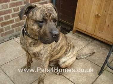 Website Owner Lookup >> massiebulldogs | Perro de Presa Canario Breeder | london, United Kingdom