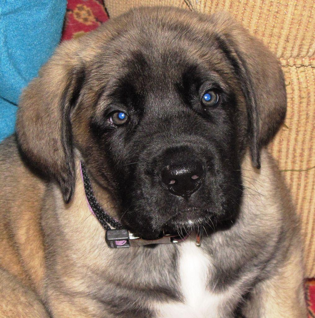 Orion Farms American Mastiff American Mastiff Breeder Keymar