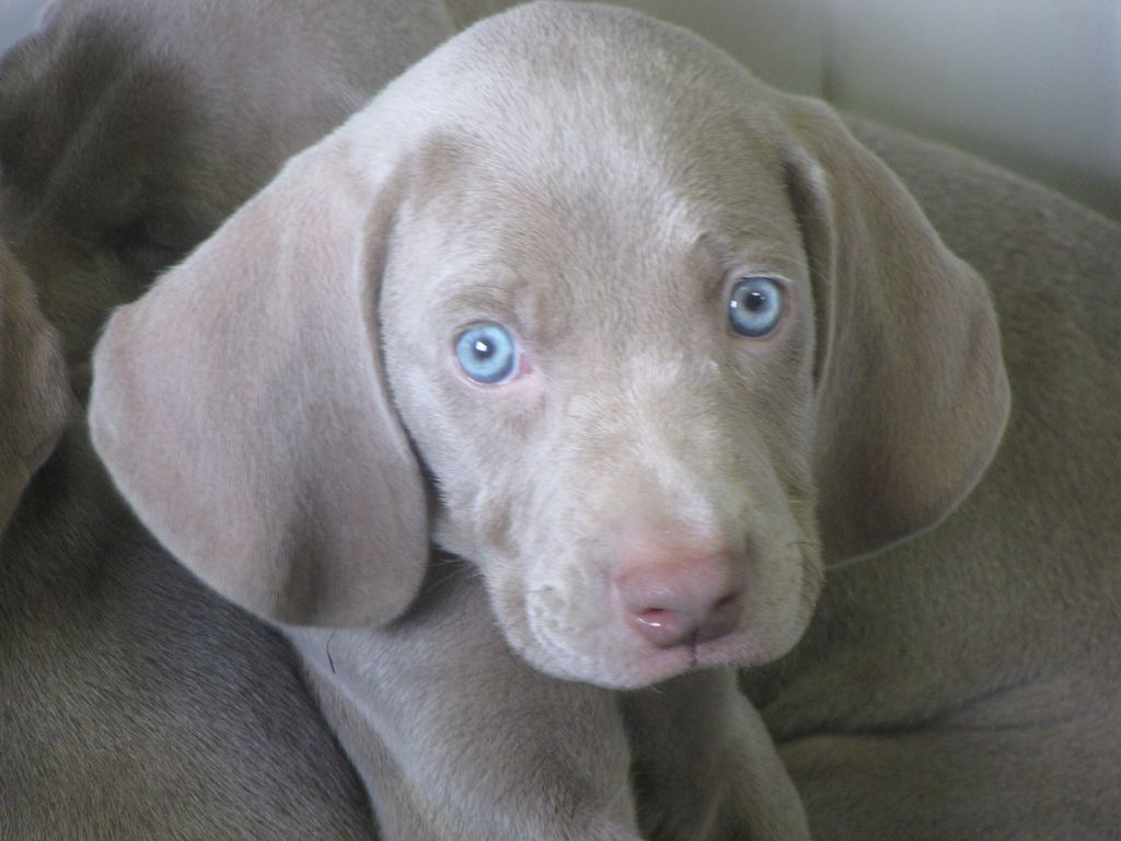 Which Dogs Have Blue Eyes
