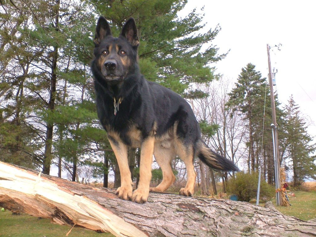 Old-Fashioned, Thick Boned, Large German Shepherd Breeder 83