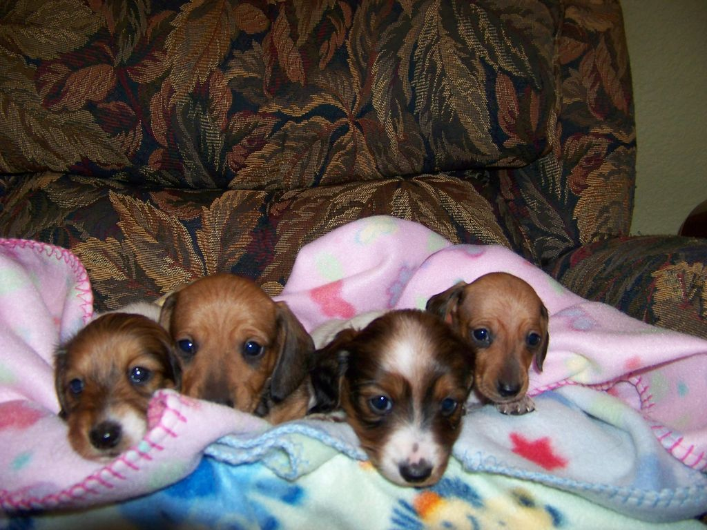 Little Rascals Miniature Dachshunds | Dachshund Breeder